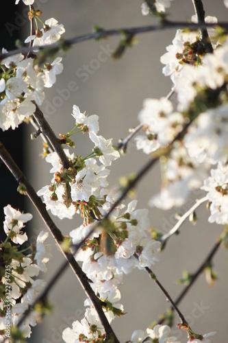 Photo Rami fioriti con fiori binchi