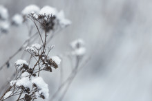 Dry Plants Covered With Snow O...