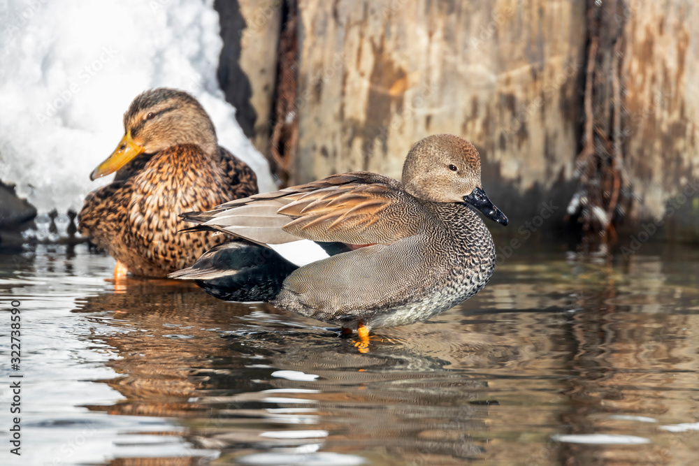 Fototapeta The gadwall (Mareca strepera) is a common and widespread dabbling duck in the family Anatidae.