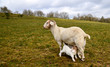 mother goat feeding baby in meadow on a hill