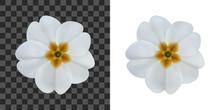Primula, Primrose Flower Isola...