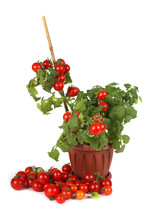 Cherry Tomato Growing In Pot