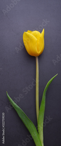 One beautiful bright yellow tulip in close-up against a dark gray stucco wall.