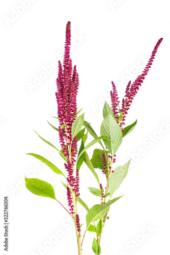 Amaranth plant isolated on white background Canvas Print