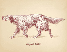 English Setter - Hunting Dog Vector Engraving Masterfully Restored
