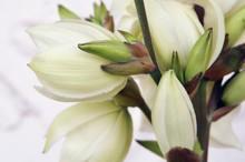 Closeup Shot Of A White Yocca ...