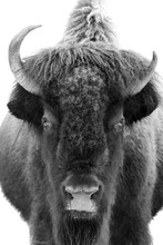 Greyscale Shot Of An American Bison Staring At The Lens On A White Background