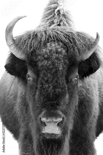 Greyscale shot of an American Bison staring at the lens on a white background Wall mural