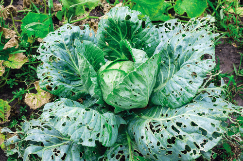 Obraz Cabbage leaves eaten by slugs, parasite spoils the harvest - fototapety do salonu