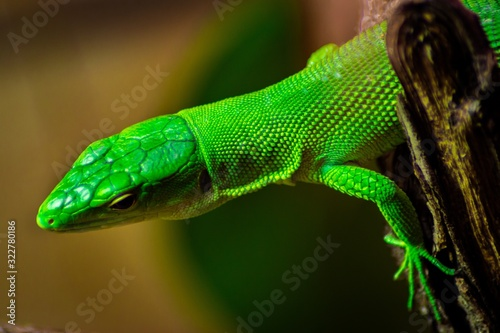 Closeup of a Green anole on a tree under the sunlight with a blurred background Canvas Print