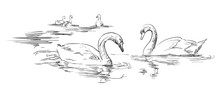 Vector Hand Drawing Swans
