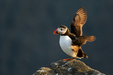 Atlantic Puffin - Fratercula A...