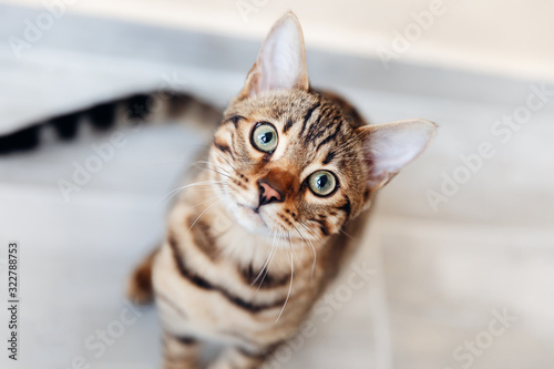 Portrait of bengal cat sitting down and look at camera. top view