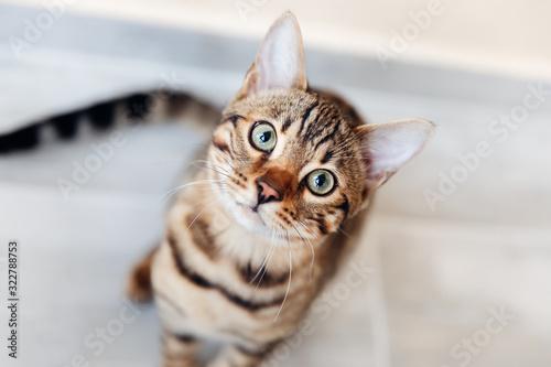 Fototapeta Portrait of bengal cat sitting down and look at camera. top view obraz