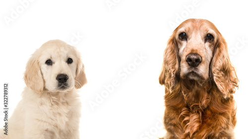 Fototapeta Portrait of a senior Cocker Spaniel dog and a young golden Retriever puppy on a white background obraz