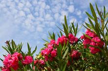 Oleander Nerium Beautiful Pink...