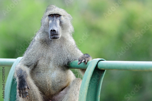 Baboon in the wilderness of Africa Wallpaper Mural