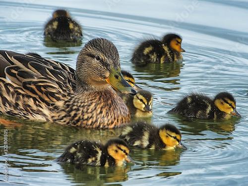 Cuadros en Lienzo Female mallard duck (Anas platyrhynchos) swimming with young ducklings