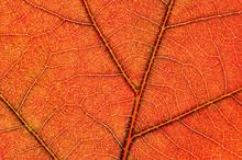 Close-up Of An Autumn, Backlit...