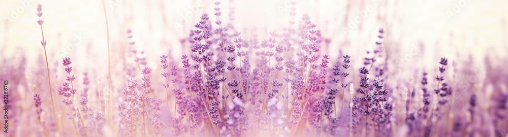 Fototapeta Lavender flower, selective and soft focus on lavender flowers