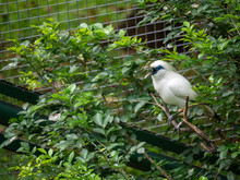 Portrait Of A Rothschild's Mynah On A Branch, Indonesia