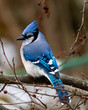 Stately bluejay profile perched in tree in winter