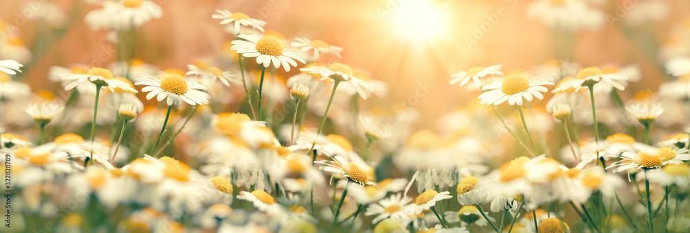 Fototapeta Daisy flower in meadow, flowering wild chamomile, beauty in nature