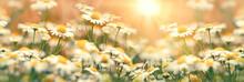 Daisy Flower In Meadow, Flower...