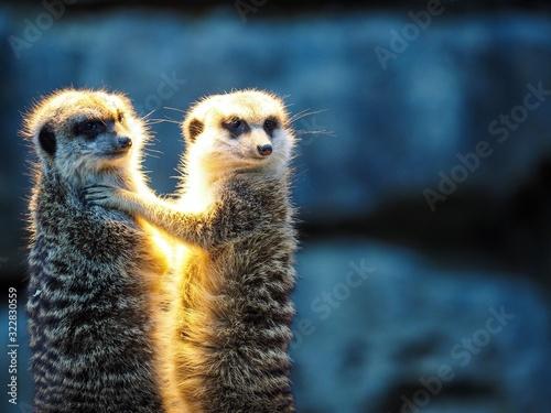 Vászonkép meerkat or suricate or meerkat standing on rock