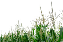 Corn Plants Isolated On White Background, Copy Space. Top Of Corn Isolated On White. Corn Plants Growing On The Field. Green Corn Isolated On A White Background.