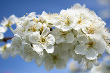 Bright White Plumb Blossoms Wi...