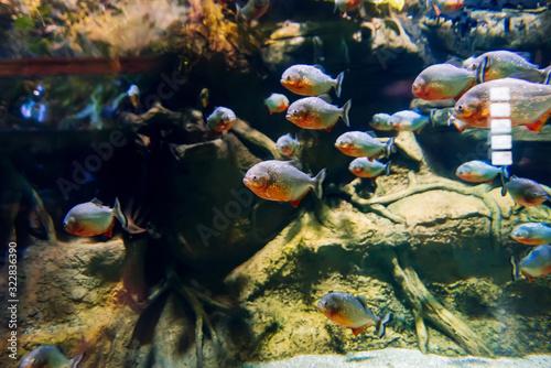 Fotografie, Obraz colony of predatory piranha fish swims underwater