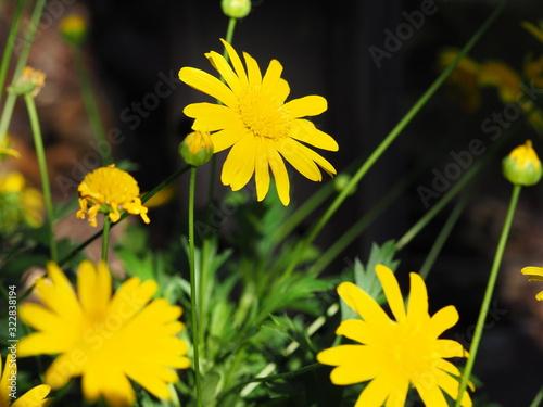 Closeup of Beautiful Yellow Daisies