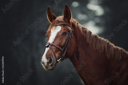 Fototapeta portrait of young red trakehner mare horse with bridle in dark forest obraz