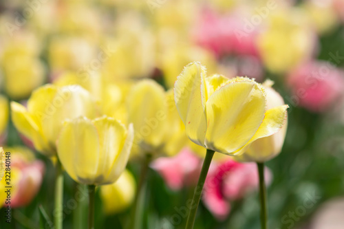 Yellow Tulip Closeup