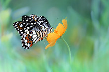 Two Butterflies On A Flower, Indonesia