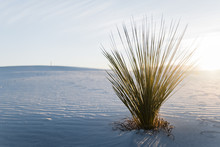 Yucca Plant At White Sands Nat...