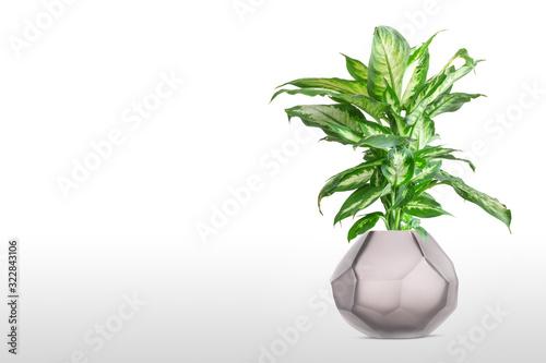 Fotomural Dieffenbachia or dumbcane isolated on white background in flower pot