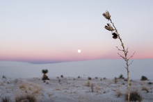Yucca Plant Flowers In The Foreground During Sunset And Full Moon At White Sands National Park.