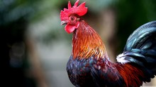 Portrait Of A Rooster, India
