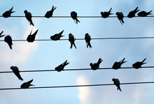 Many Swallows Sitting On Wires...