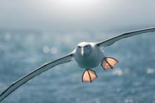 Albatross (Thalassarche Cauta) In Flight Over Ocean, New Zealand