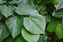 Water Drops On Green Leaves, N...