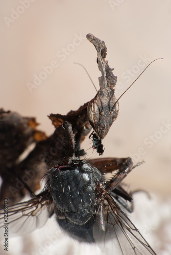 Modliszka liściogłowa - Phyllocrania paradoxa - 322869173