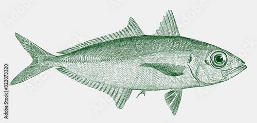 Bigeye scad selar crumenophthalmus, a marine fish in side view Fototapeta