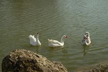 Three Curious White Geese, App...