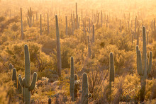 Cactus Forest At Sunset In Sag...