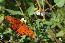 Fritillary Gulf Butterfly On Tybee Island, Georgia, USA