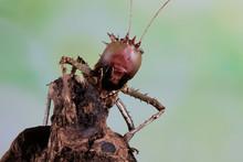 Portrait Of A Dragon Headed Katydid On Wood, Indonesia
