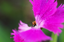 ナデシコの花を食べるウリハムシ